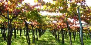 abruzzo-vigne1_500_250